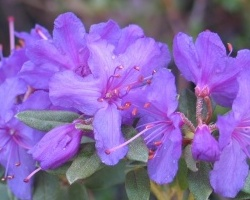 Rododendron obtížený ´Blue Silver´
