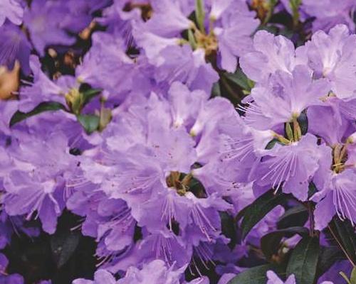 Rododendron obtížený ´Gristede´